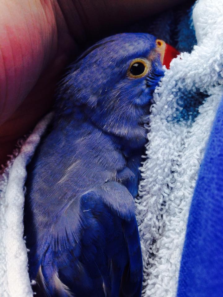 We Have Violet Indian Ringneck Babies Whidbey Birds