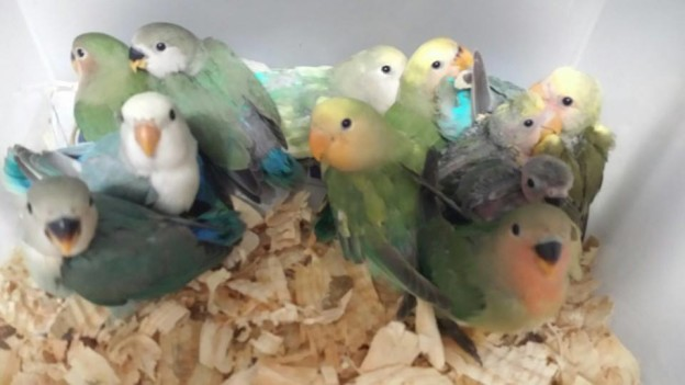 Whidbey Birds Parrots Parrotlets Conures Amp Many More